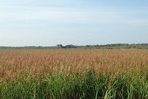 Battle River Wild Rice Farm Field